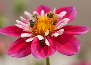 Get involved today to help save Oregon's bees from dangerous pesticides! (Photo by Don Latarski)