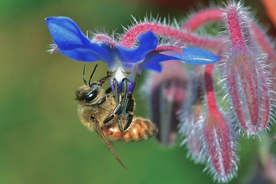 """""""Bee and Borage"""" by Catia Juliana"""