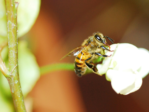 Bee on white bean flower by Judit Covarrubias Garcia