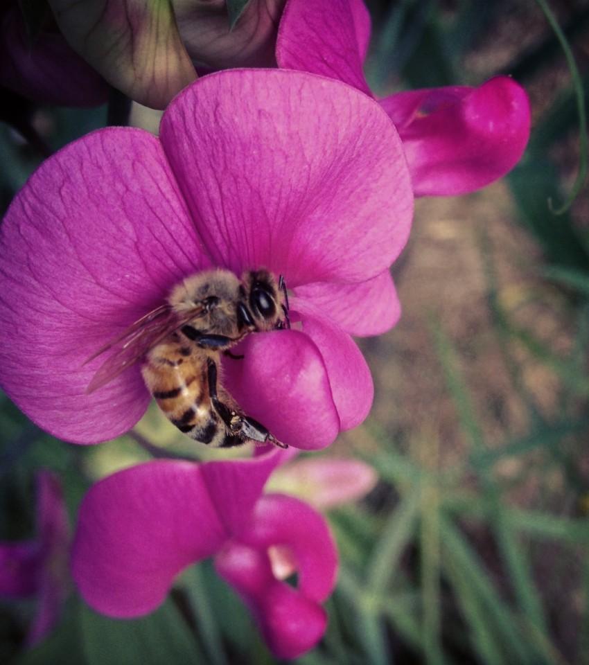 sweetpeabee