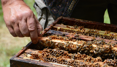 Philip Smith, of Blessed Bee, inspects one of his hives (Summer 2013). Photo by Kate Harnedy