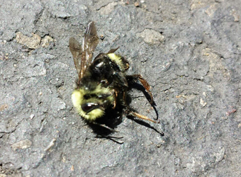 Thousands of bumblebees perished in Eugene in late June and a long-time tree spray company faces investigation by the Oregon Department of Agriculture. (Photo by Lisa Arkin, Beyond Toxics)