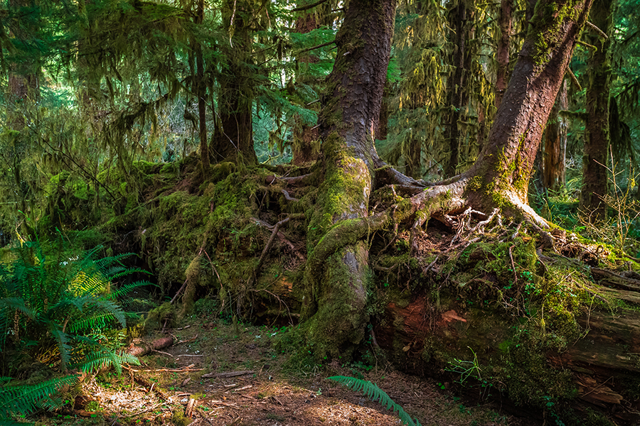 Ancient Forest, Hoh Rain Forest in Olympic National Park