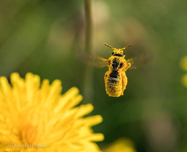 DonLatarski_PollenCoat_Wild-Bee-2-6.24.20-2_600px
