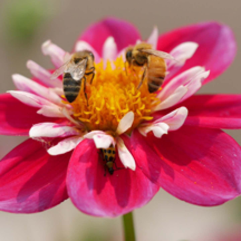 DonLatarski_2-bees-bystander_3rdPlace_300px
