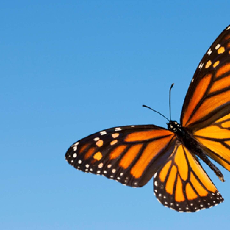 MonarchButterfly_4EllenRifkinBLOG_July2016_600px