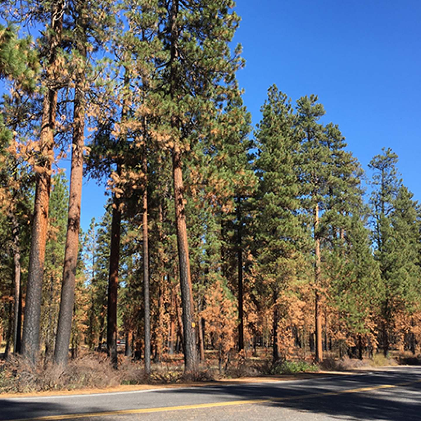 Highway20_DyingTrees_IMG_4514_600px