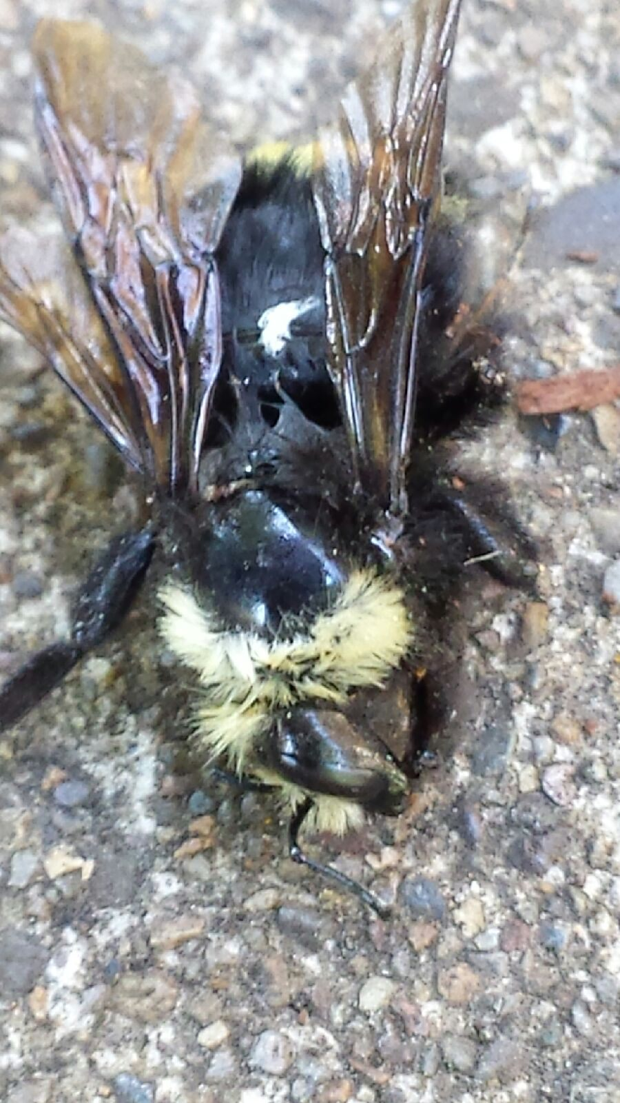 West Eugene bumble bee dead after neonic spray