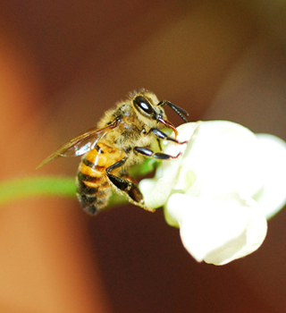 """Bean-flower bee"" - Photo by Judit Covarrubias García"