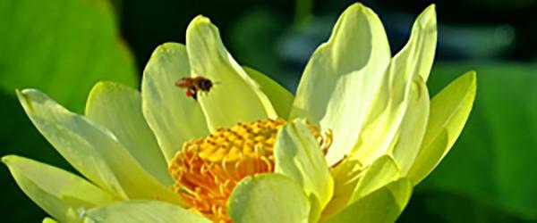 Lotus Blossom & Honey Bee A 07-13
