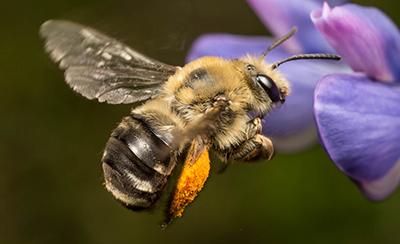 Save Oregon S Bees Beyond Toxics